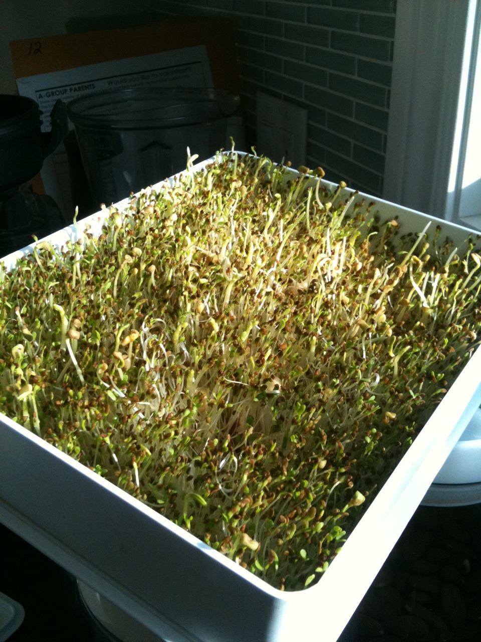 home sprouts step - greening in the sun